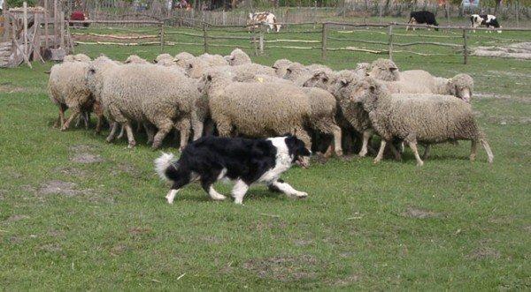 Пастушья собака со стадом овец