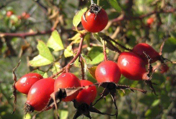 Ветвь с плодами шиповника