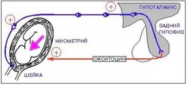 Влияние окситоцина на родовой процесс