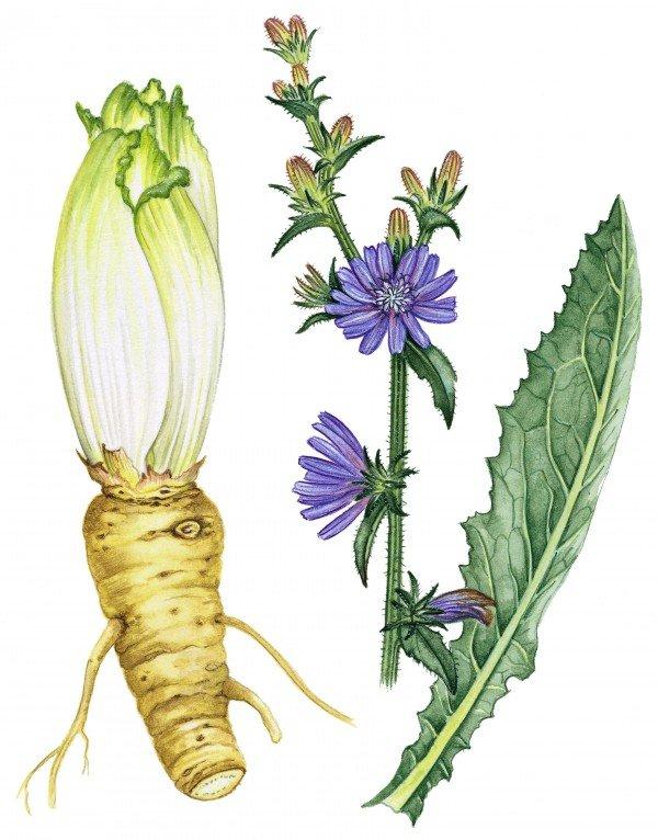 Цикорий: корень, стебли, соцветья