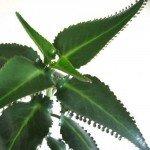 Листья каланхоэ