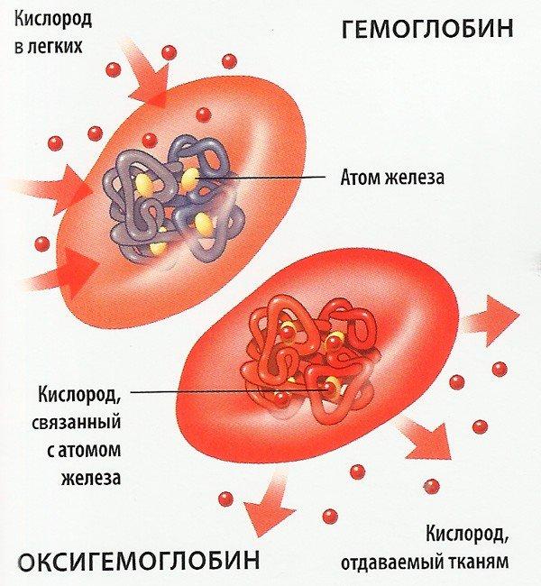 гемоглобин в эритроците
