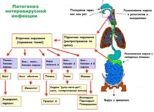 Схема воздействия энтеровирусов на организм человека