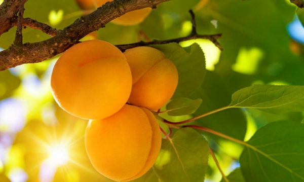 Свежие плоды абрикосового дерева