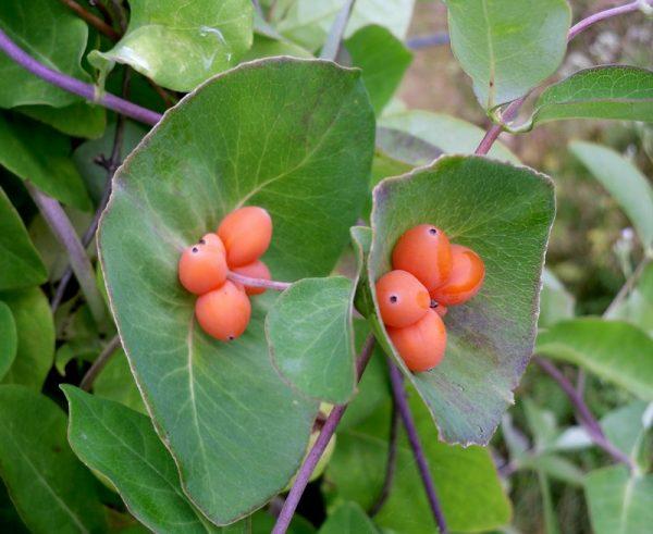 Жимолость с оранжевыми ягодами