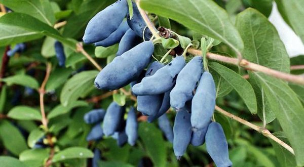 Жимолость с синими ягодами