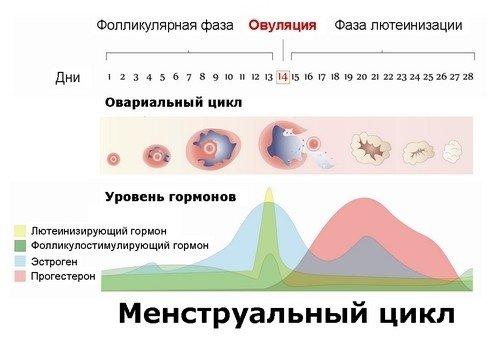 Схема уровня гормонов при этапах менструального цикла