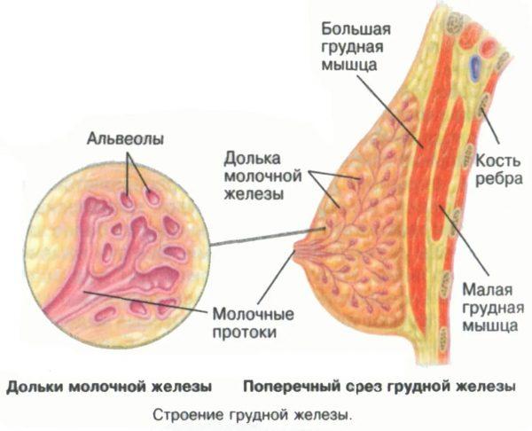 Строение молочной железы