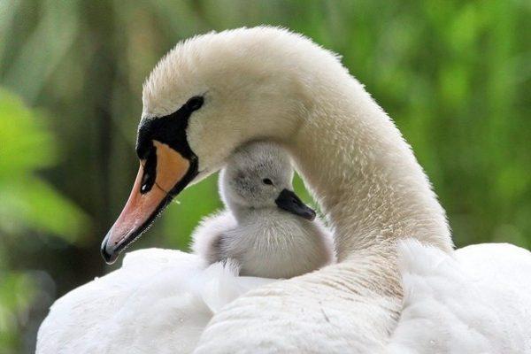 Лебедь с птенцом