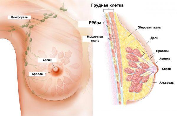 Молочная железа в разрезе