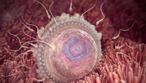 Оплодотворённая яйцеклетка внутри яйцевода