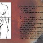 Размеры матки в разные недели первого триместра