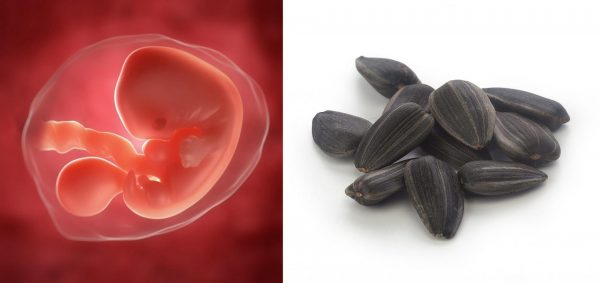 Эмбрион на 5-й неделе развития, семечки подсолнуха